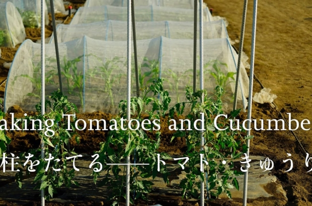 Staking Tomatoes and Cucumbers